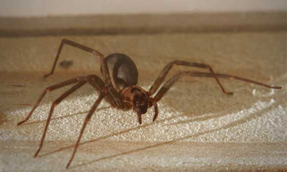 Brown Recluse Spiders
